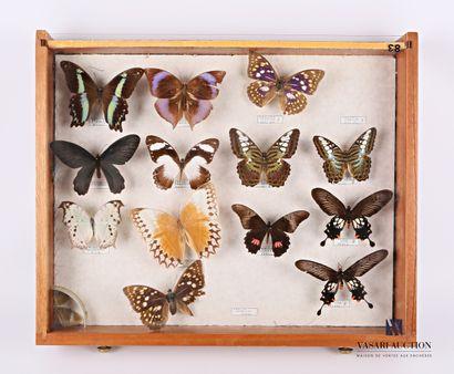 Tiroir entomologique contenant treize papillons...