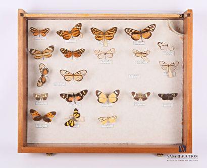 Tiroir entomologique contenant vingt papillons...
