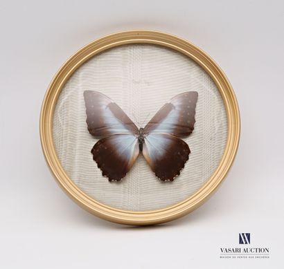 Papillon (Morpho Metellus) dans un écadrement...