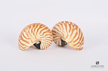 Ensemble de deux nautiles ( Nautilus sp.,...