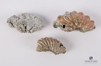 Ensemble de trois fossiles (Hoplites et Beudanticeras)...