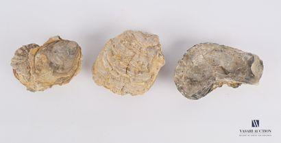 Ensemble de trois huîtres fossilisées  Long....