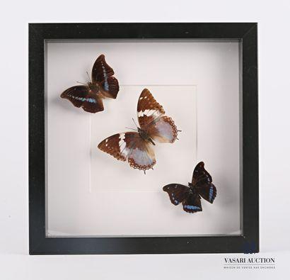 Cadre vitré contenant trois papillons (Charaxes...