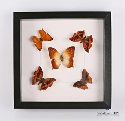 Cadre vitré contenant cinq papillons (Lepidoptera...