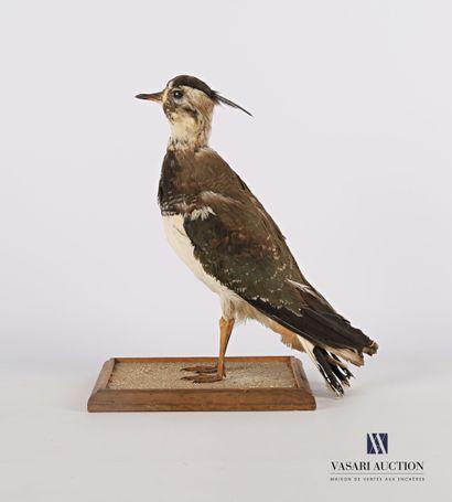 Vanneau huppé (Vanellus vanellus, pré règlementation)...