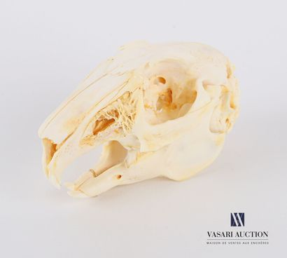 Crâne complet de lapin (Oryctolagus cuniculus,...