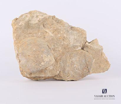 Ensemble de deux coques fossilisés.  Haut....