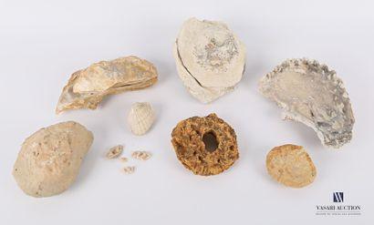 Ensemble de huit coquillages fossilisés (Alectriomia,...