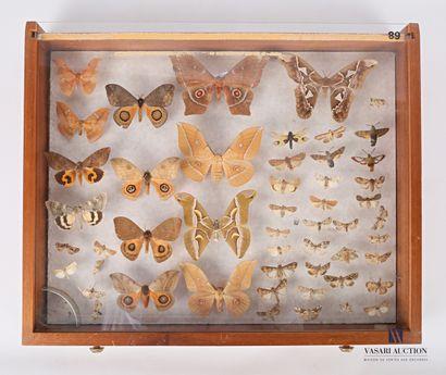 Tiroir contenant cinquante et un lepidoptères...