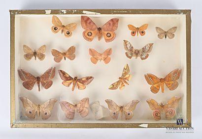 Boite contenant seize lépidoptères nocturnes....