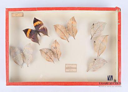Boite entomologique présentant sept Kallima...