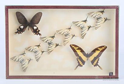 Boite entomologique contenant huit lépidoptères...