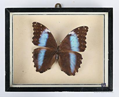 Boite entomologique présentant un Morpho...