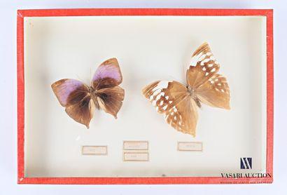 Boite entomologique présentant un rare couple...