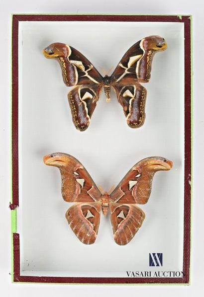 Boite entomologique présentant un couple...