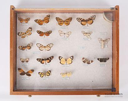 Tiroir contenant dix neuf lepidoptères identifiés....