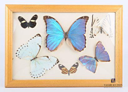 Cadre entomologique contenant six lépidoptères...