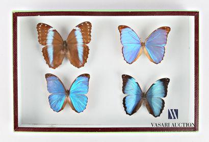 Boite entomologique contenant quatre Morpho...