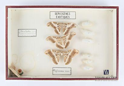 Boite entomologique présentant trois Philosamia...