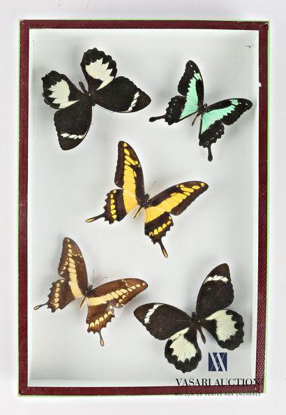 Boite entomologique contenant cinq lépidoptères...