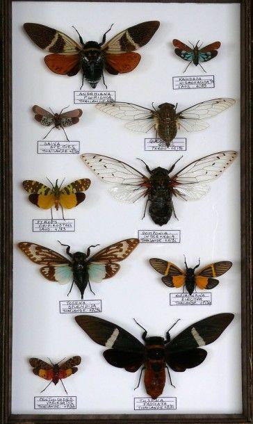 Cigales et fulgoridae indo-malais