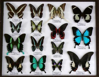 Papilionidae d'Asie coffret - format Mus...