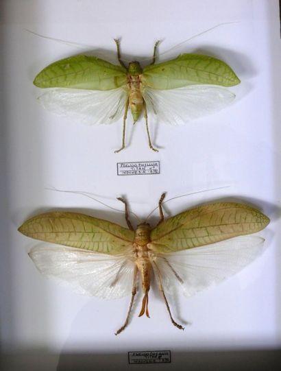 Pseudophyllum titan – couple – Indonésie