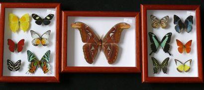 Papillons exotiques présentés dans trois...