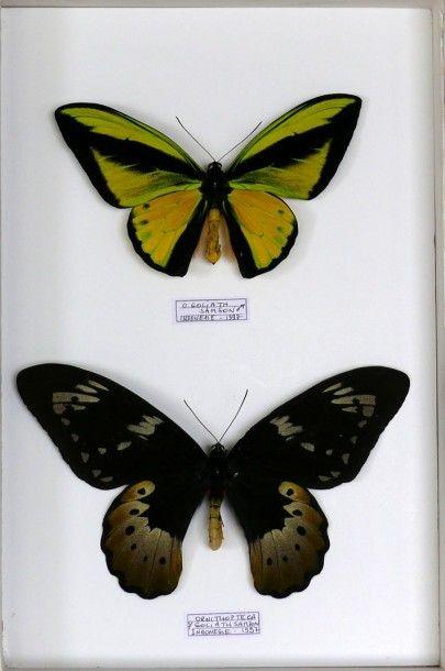 Ornithoptera goliath samson– Nlle Guinée...