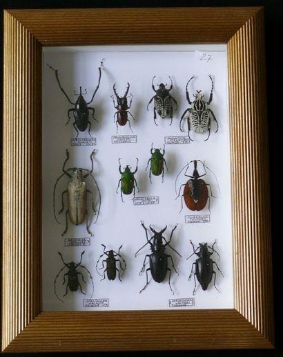Coléoptères exotiques encadrés