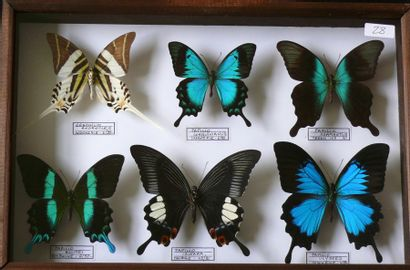 Papilio et graphium asiatiques