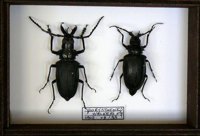 Cerambycidae exotiques - par couple - lot...