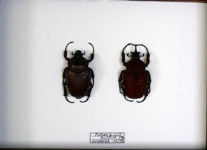 Fornasinus russus – couple – RDC Rare