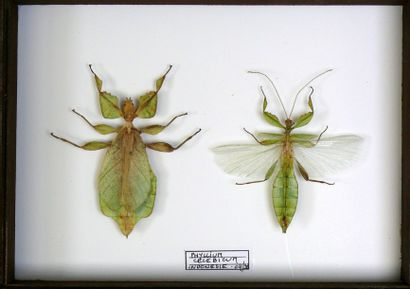 Phyllium (insecte-feuille) – couple – In...