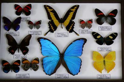 Papillons du Pérou dont morpho didius