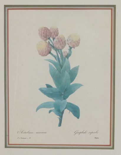 Lot de trois reproductions représentant:  - REDOUTE Pierre-Jospeh, Astelma Eximium....