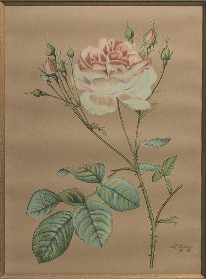 REDOUTÉ Pierre-Joseph (1759-1840), d'après....