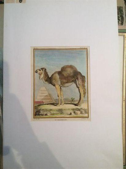 BAQUOY D'après. Le dromadaire Gravure couleurs sur papier. Tom XI, Pl IX page 276....