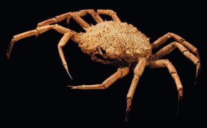 Majoidea Envergure: 38 cm