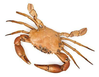 Crabe nageur Portunus sp. (présence de coquillages sur la carapace). Envergure:...