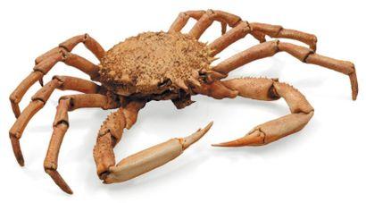 Majoidea Envergure: 44 cm