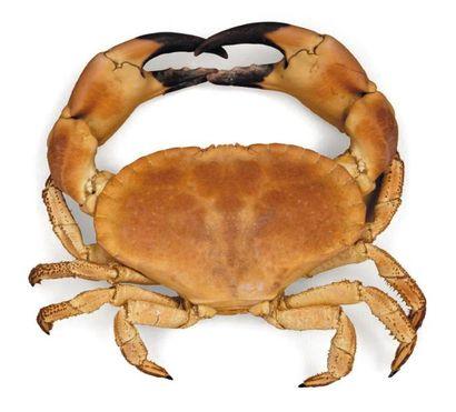 Crabe cancer - Cancridae Envergure: 36 c...