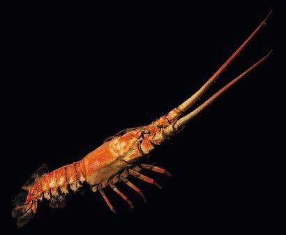 Langouste Palinurus sp Taille avec les antennes:...
