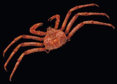 Lithodidae Envergure: 105 cm