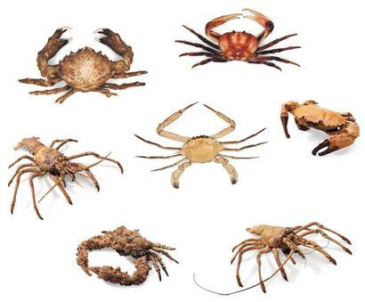 Lot de 7 exemplaires de Langoustes et Crabes dont crabe pierre, crabe cancer