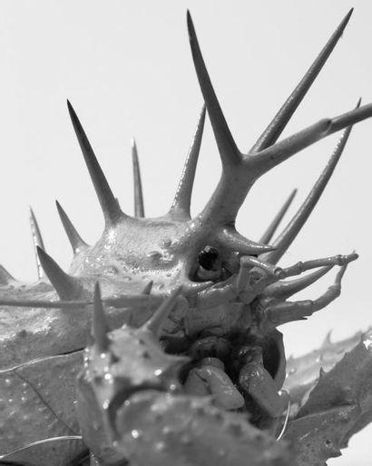 Neolithodes sp. Envergure: 54 cm