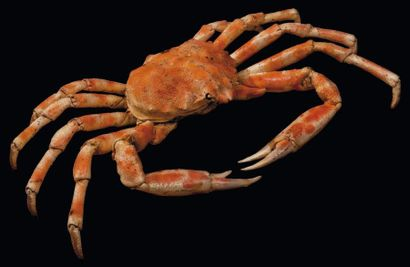 Majoidea Envergure: 54 cm