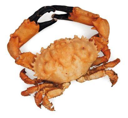 Crabe cancer - Cancridae Envergure: 30 c...