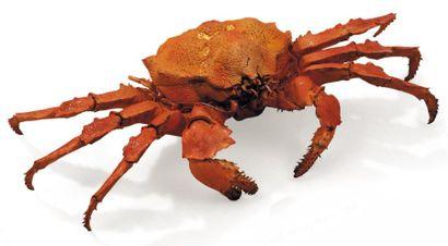 Majoidea (?) Envergure: 30 cm