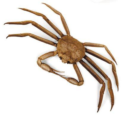 Majoidea Envergure: 48 cm